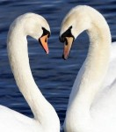 swans400x452.jpg